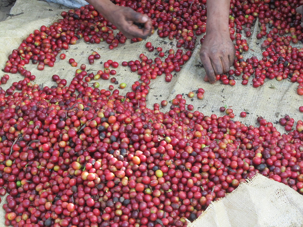 The cherry selection process