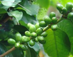 GREEN COFFEE SELECTION