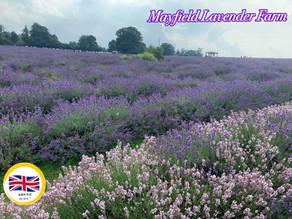 Mayfield Lavender Farm 薰衣草田