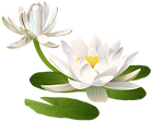 chinese-drawing-water-lily-1-transparent