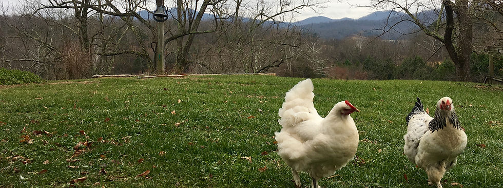 free range chickens on foxglove farm in afton, va, pasture eggs, hens, holistic nutrition, traditional diet, ancestral diet