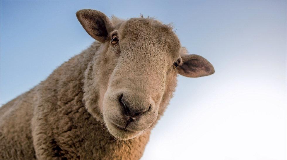 sheep-1822137_1920_edited_edited.jpg