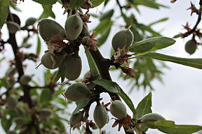 almond-tree-503359_1920.jpg