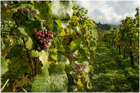 santa ynez wine yard