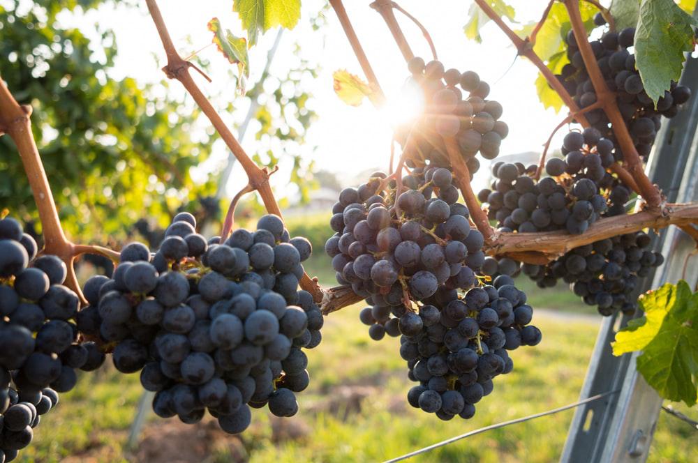 purple grape vines