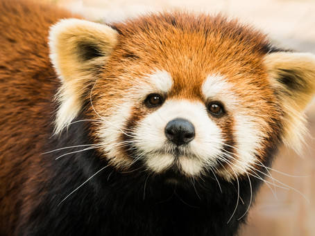 What's In a Name: Why Red Pandas?