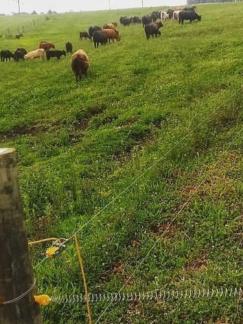 Foto Fazenda Buffalo, 60 dias após a implantação da cerca elétrica Isolar_edited.jpg