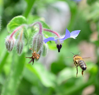 borage-bee_CB.jpg
