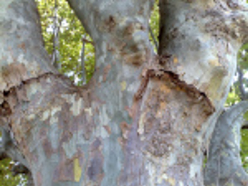 London Plant Tree Bark