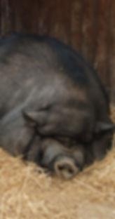Pot-bellied_pigs_in_Lisbon_Zoo_2008.jpg