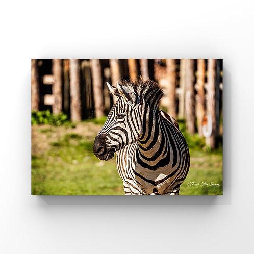 ZebraScotlandZoo