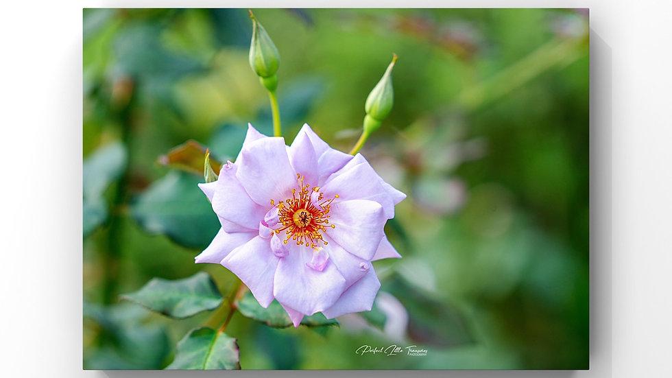 Rose-Purple