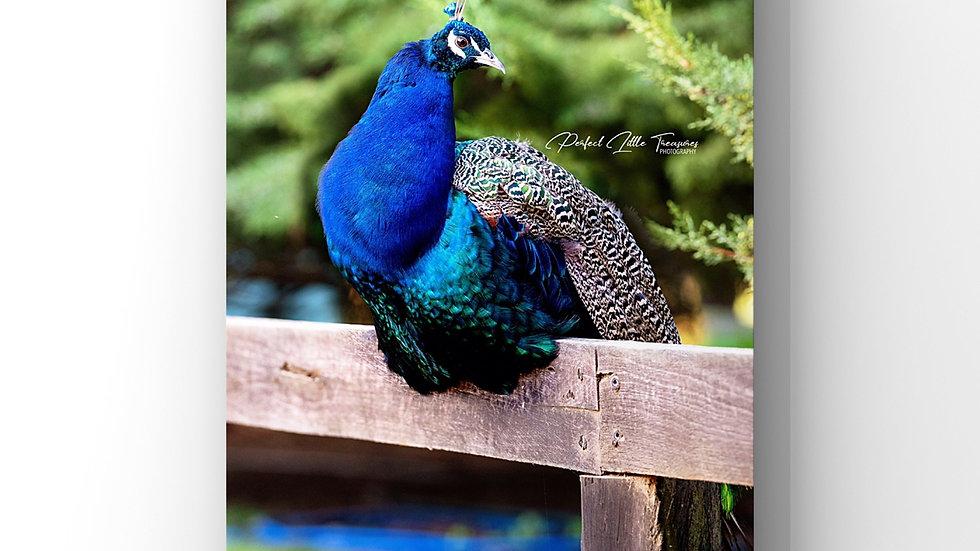 PeacockOnAFence