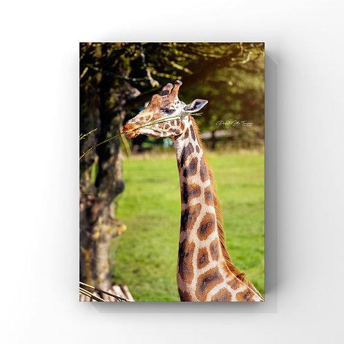 GiraffeInScotland