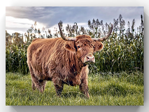 Storm Cow