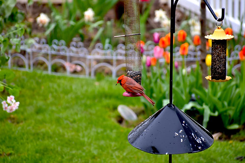 Red Cardinal in the Garden