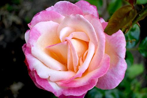 Strawberry Rose