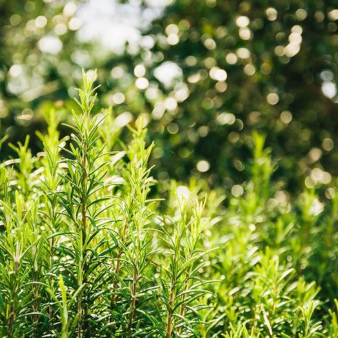 Rosemary 3.jpg
