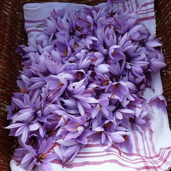 fleurs safran 3.jpg
