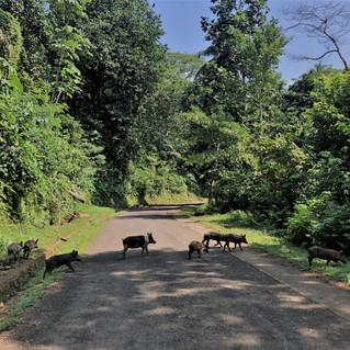 Pigs crossing - very remote