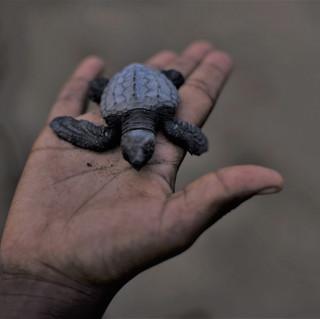 Turles nesting at Praia Grande on the NE coast