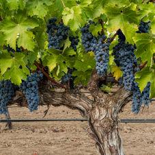 Old Vine Cabernet