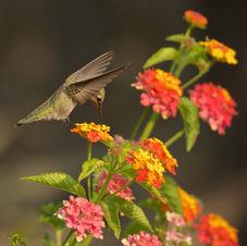 Humming Bird & Lantana