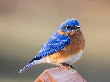 North Park Bluebird Box Project Contributing to Conservation Efforts