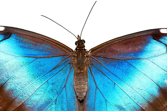 Beautiful butterfly (Blue Morpho) - isol