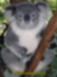 Koala - erityis suojeluksessa.jpg