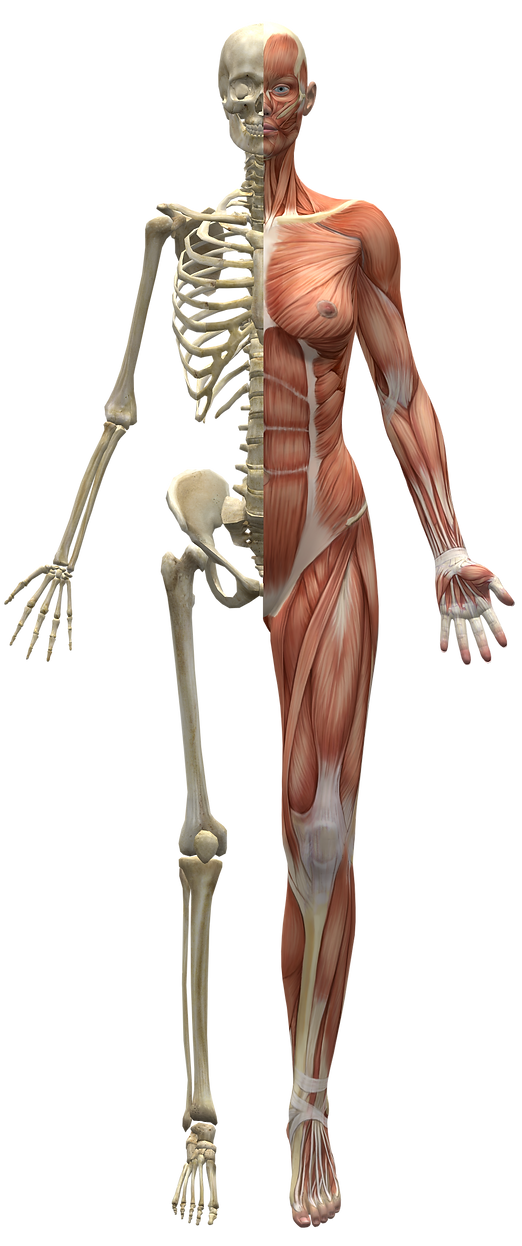 Skeleton_and_muscles.png