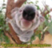 Täällä haisee eucalyptus.jpg