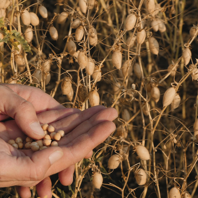 A farmer examines ripe chickpea beans in