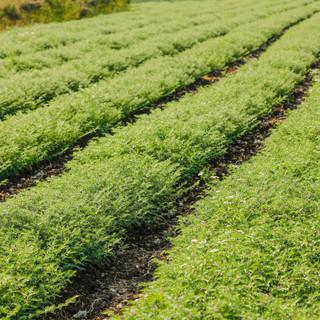 Fresh Green Chickpeas field , Chick peas