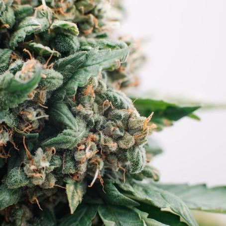 All Things Cannabis: CBD VS THC