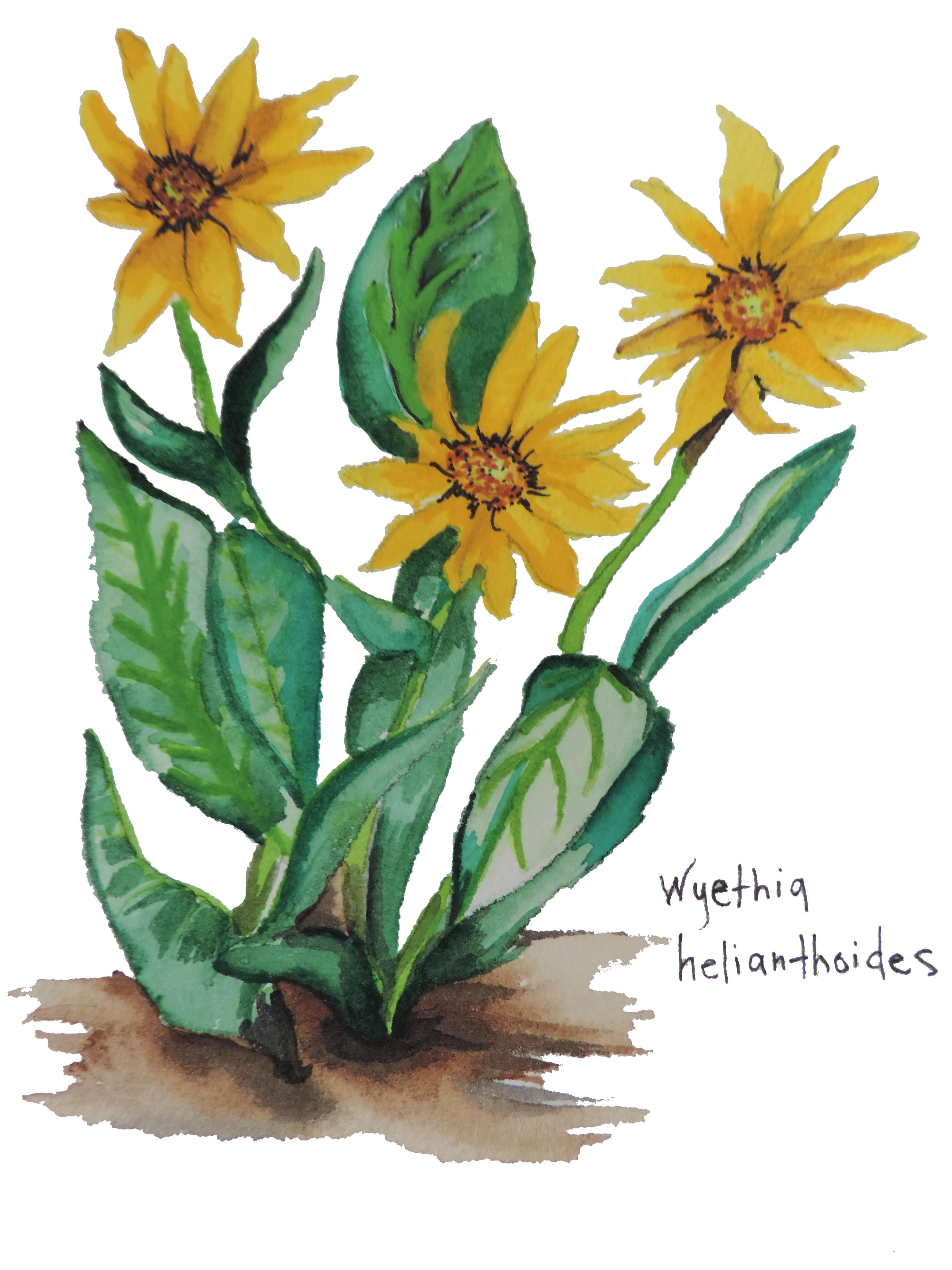 Mule Ear Sunflower