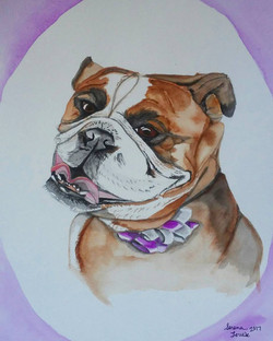 Lily the English Bulldog