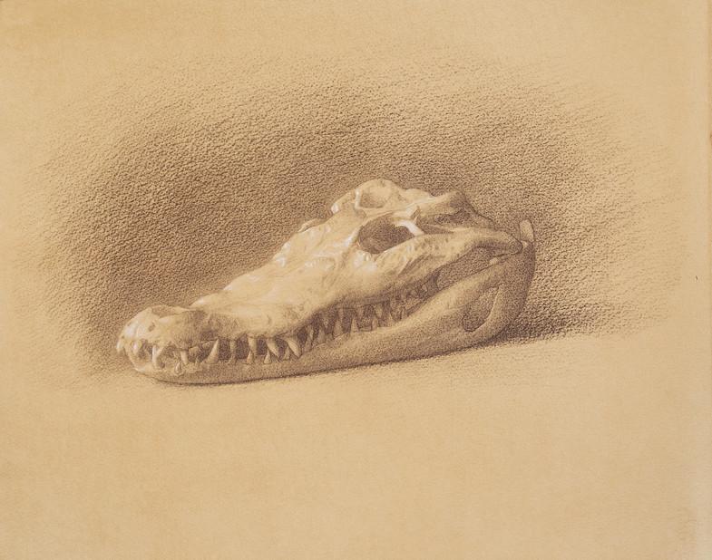 Saltwater Crocodile Skul 48.3 x 38 .jpg