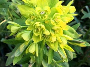 Euphorbia-spring.jpg