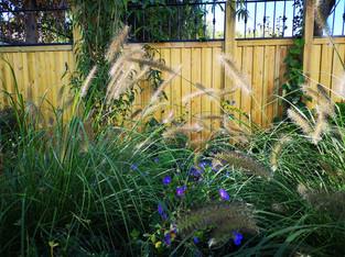 Pennisetum-geranium.jpg