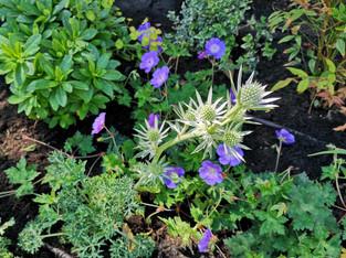 Erigeron-geranium.jpg
