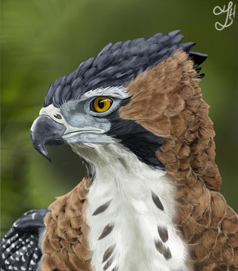 Ornate Hawk Eagle Study