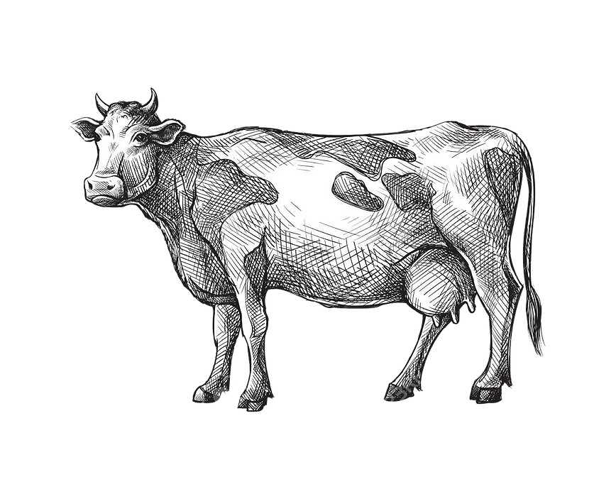 Cow drawing 2 PNG NEW.png