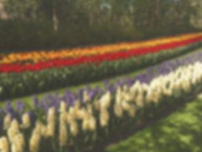 Tulpenblüte_edited.jpg