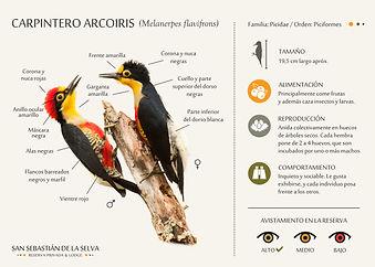 Carpintero Arcoiris.jpg