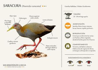 Saracura.jpg