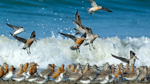 ¡El Plan Nacional para la Conservación de las Aves Playeras de Argentina ya es oficial!