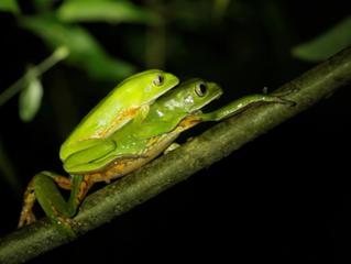 Una noche con las ranas en la Selva Misionera