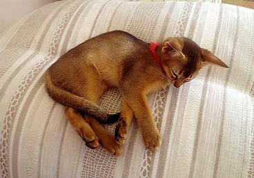 Abyssinian cat, Abinest, Питомник абиссинских кошек, абиссинский котенок спит