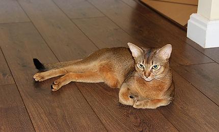 Абиссинский котик, Abyssinian cat, Abinest, Питомник абиссинских кошек